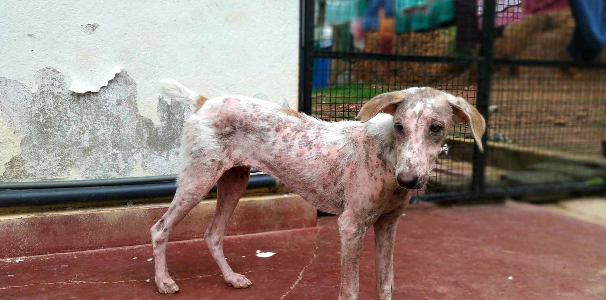 Maisie street dog Sri Lanka WECare