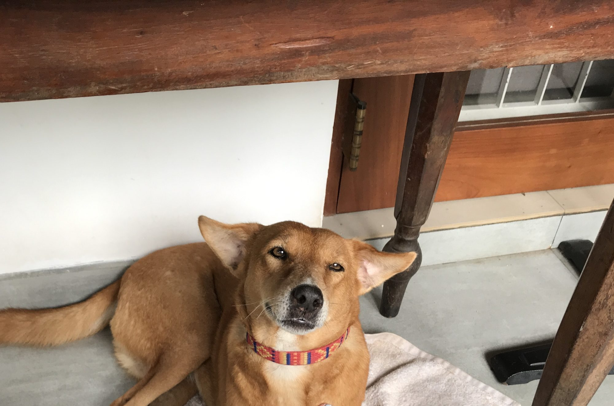Lola the adopted Sri Lankan street dog