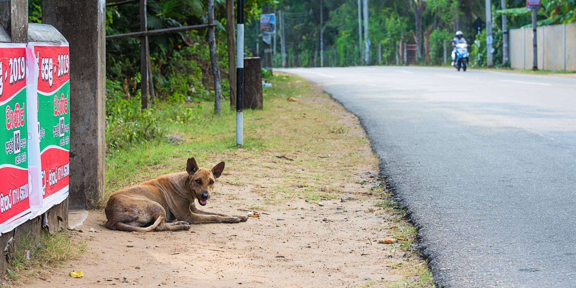 Street dog sitting by the road in Sri Lanka